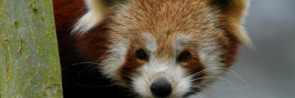 Biobrandstof op basis van pandapoep